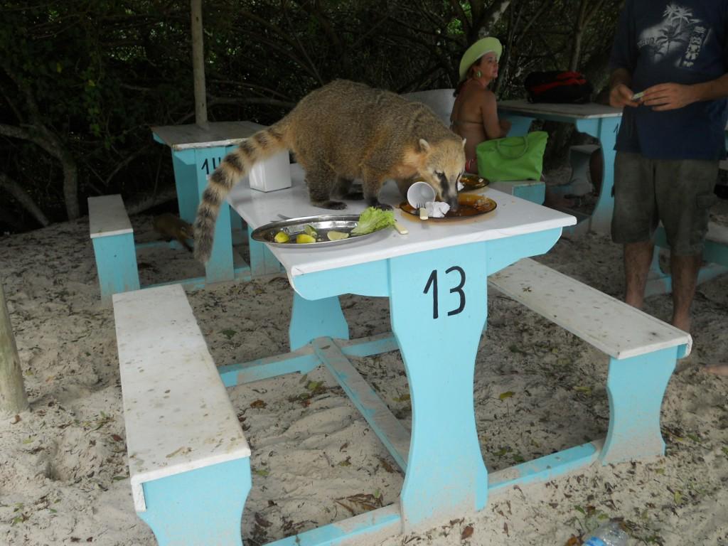 Quatis na Ilha do Campeche. Foto: Marcelle Ribeiro