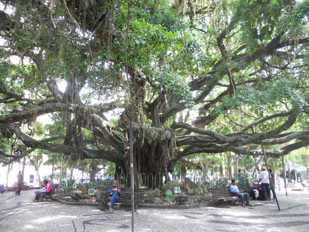 Figueira Centenária de Florianópolis. Foto: Marcelle Ribeiro