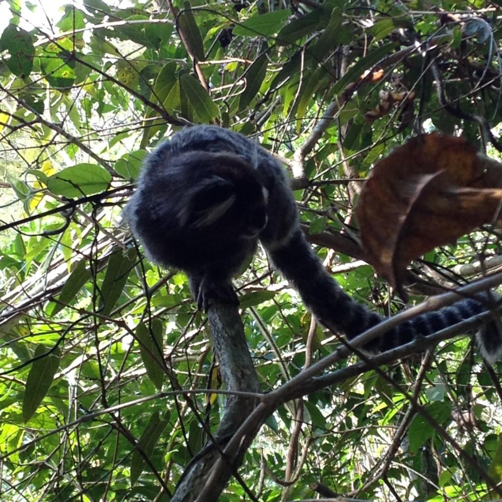 Mico na trilha da Pedra Bonita. Foto: Marcelle Ribeiro