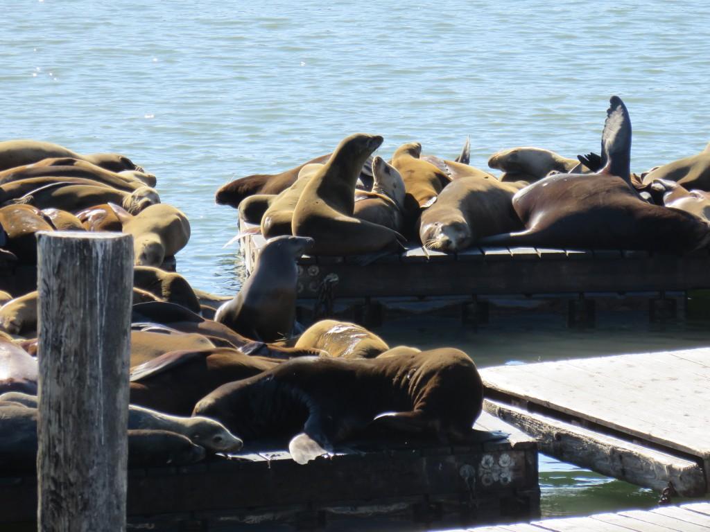 Leões-marinhos no Píer 39, em Fisherman's Wharf. Foto: Marcelle Ribeiro