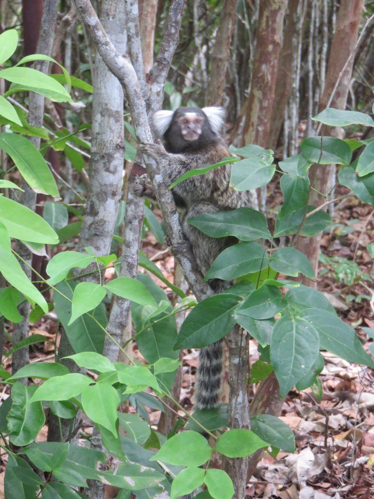 Mico no Santuário Ecológico de Pipa. Foto: Marcelle Ribeiro
