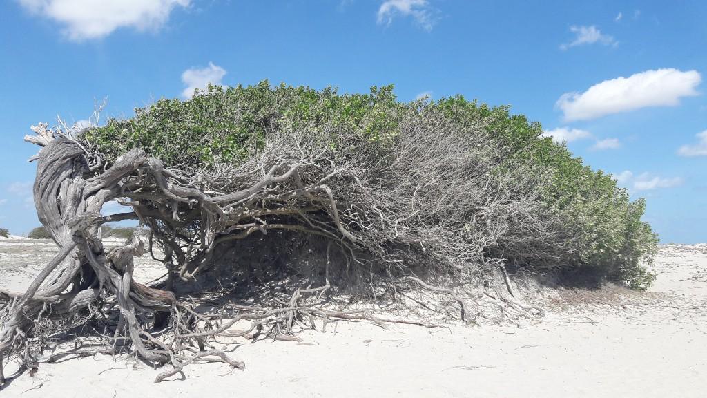 Árvore da Preguiça, em Jericoacoara. Foto: Marcelle Ribeiro.
