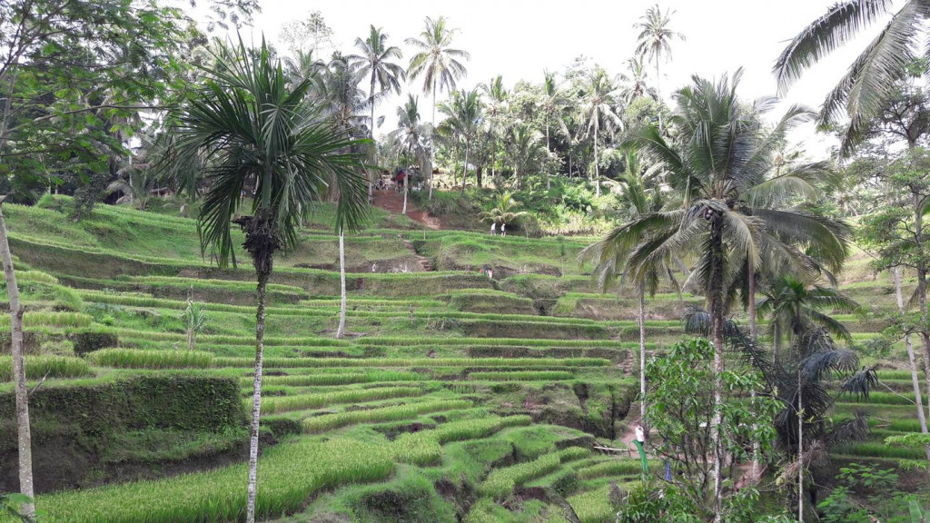 A plantação de arroz é feita em níveis para usar melhor a água. Foto: Marcelle Ribeiro